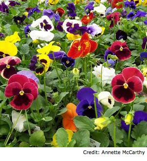Happy 1st Day Of Spring Beautiful Flowers Pictures Pansies When To Prune Roses