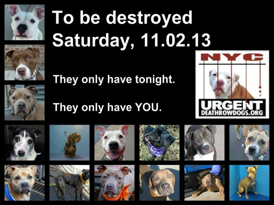 TO BE DESTROYED SATURDAY, Nov.2, 2013. https://www.facebook.com/Urgentdeathrowdogs/app_137541772984354?f&ref=ts