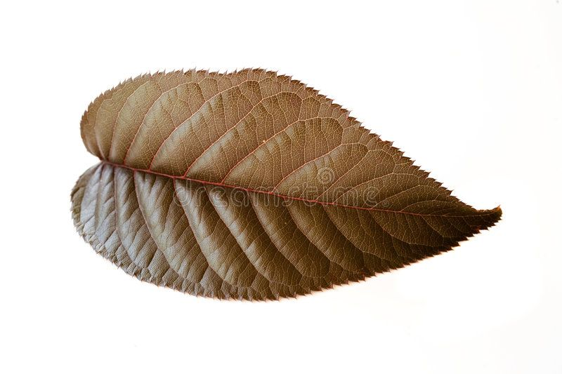 Cherry Leaf Photo Of A Leaf From A Flowering Cherry Tree Ad Photo Leaf Cherry Leaf Tree Ad Cherry Leaf Flowering Cherry Tree Photo