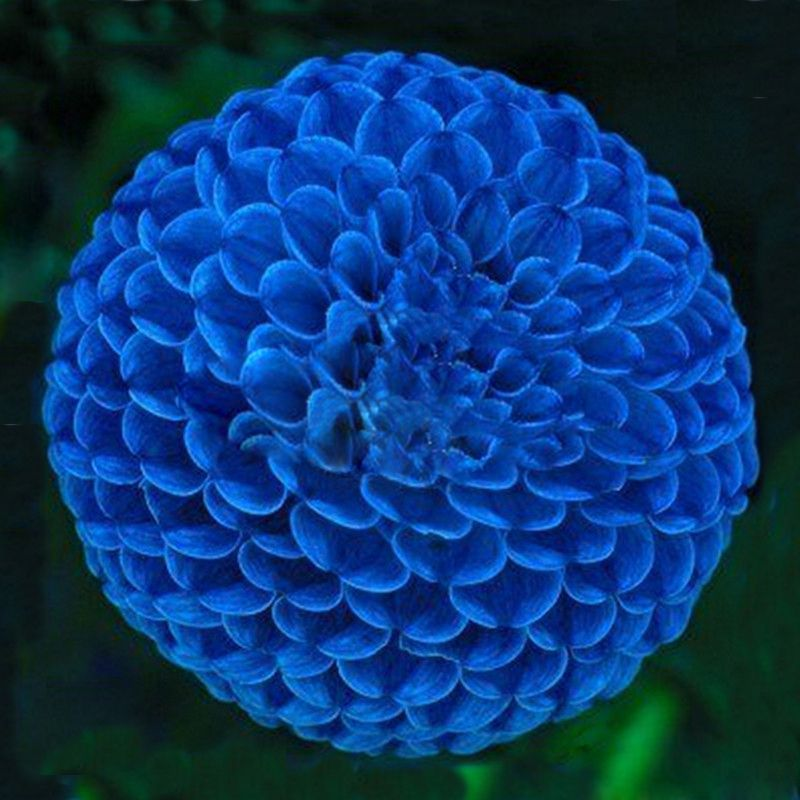 hot vente unique bleu boule de feu dahlia graines belle bonsaï
