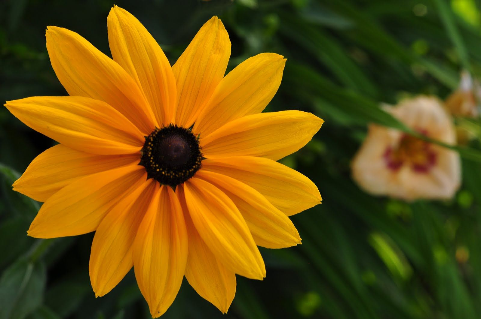 Nice black eyed susan graceful free download selebritas