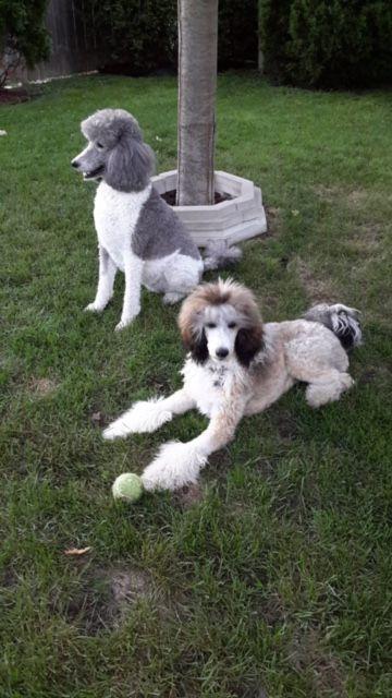 Pippa Isleof Standard Poodles Ontario Canada Poodles Poodle