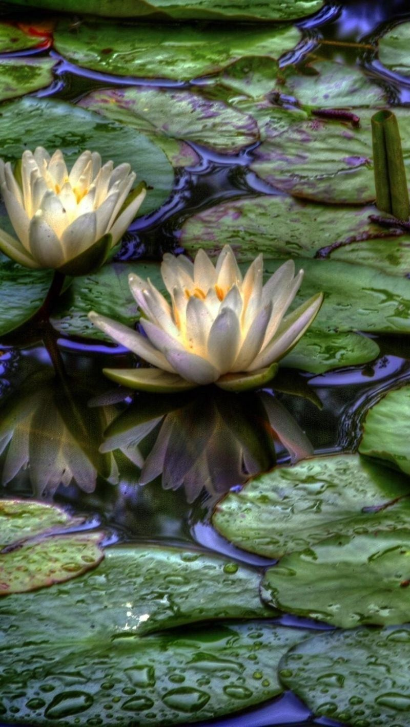 Water lilies painting image by Iboja Mišković on lepe