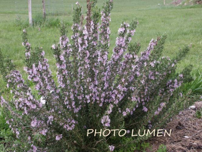 rosmarinus officinalis 'marjorca pink'. nom commun : romarin rose
