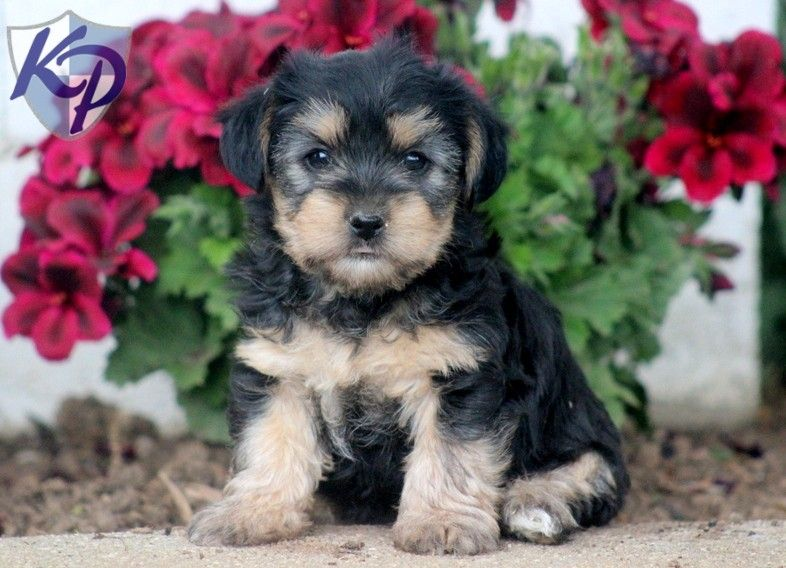 Puppy Finder Find Buy A Dog Today By Using Our Petfinder Puppy Finder Puppies Buy A Dog