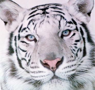 LOVE White Tigers!!