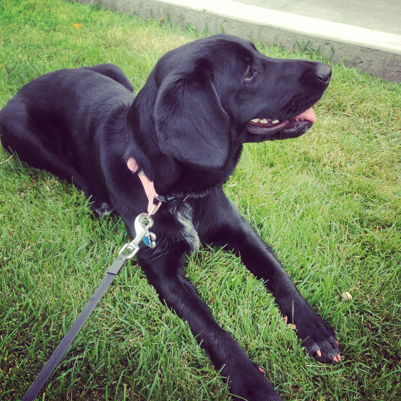 Black Labrador and golden retriever mix. Dogs Pinterest