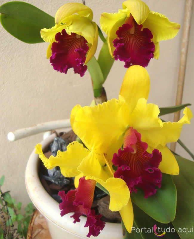 Aprenda Como Cultivar Orquídeas Cattleyas Flores Exóticas