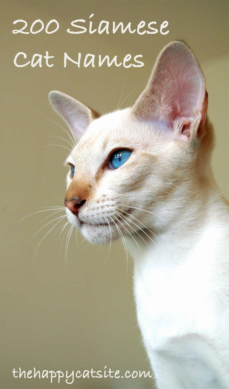 200 Best Siamese Cat Names For Your Kitten Cute Cat Names Cat Names Cat Parenting
