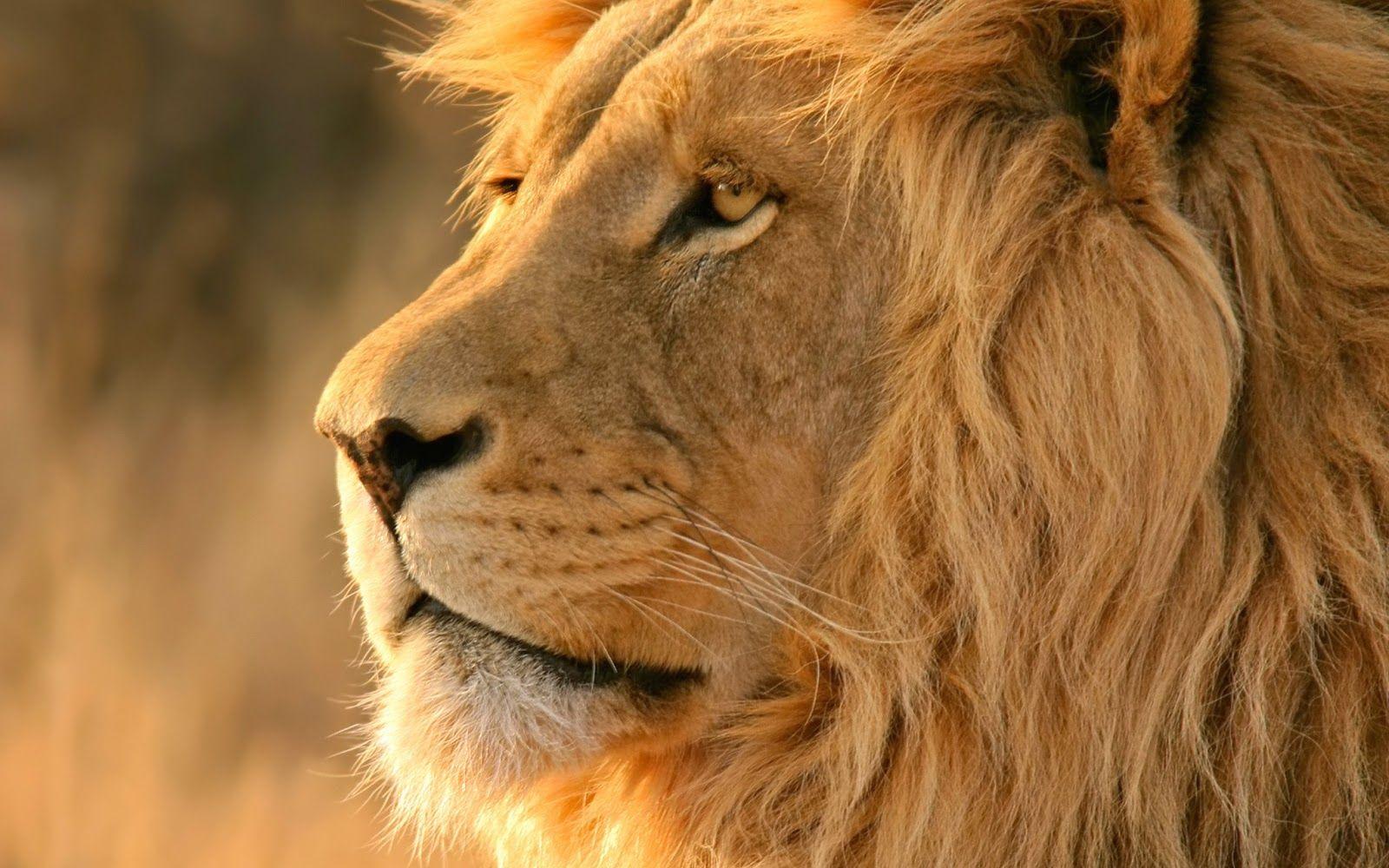 Lion Face Large Jpg 1 600 1 000 Pixels Lion Wallpaper Lion Pictures Lion Hd Wallpaper