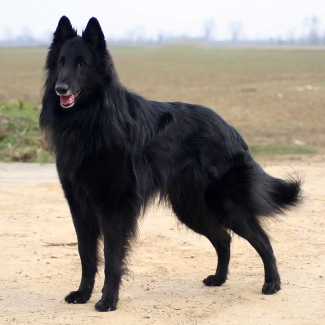 Pin By Dog Breeds On Groenendael Belgian Sheepdog Dogs Belgian Dog
