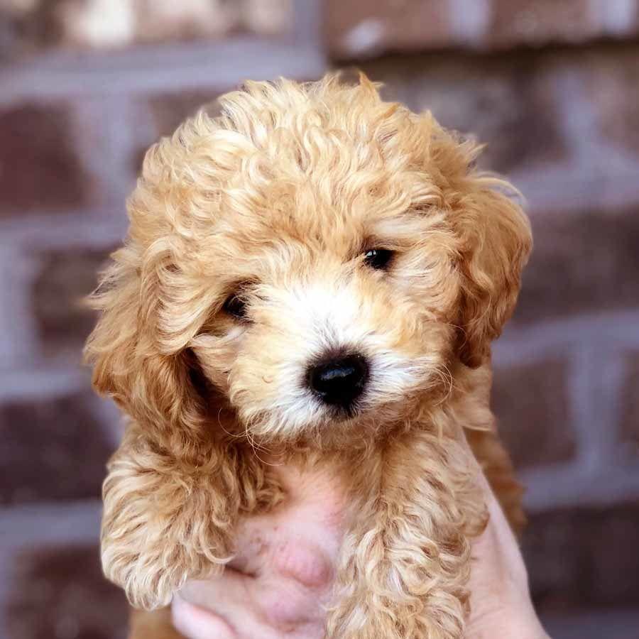 Bolonoodle Teddy Bear Teacup Doodle Dogs Bolonoodle Puppies For