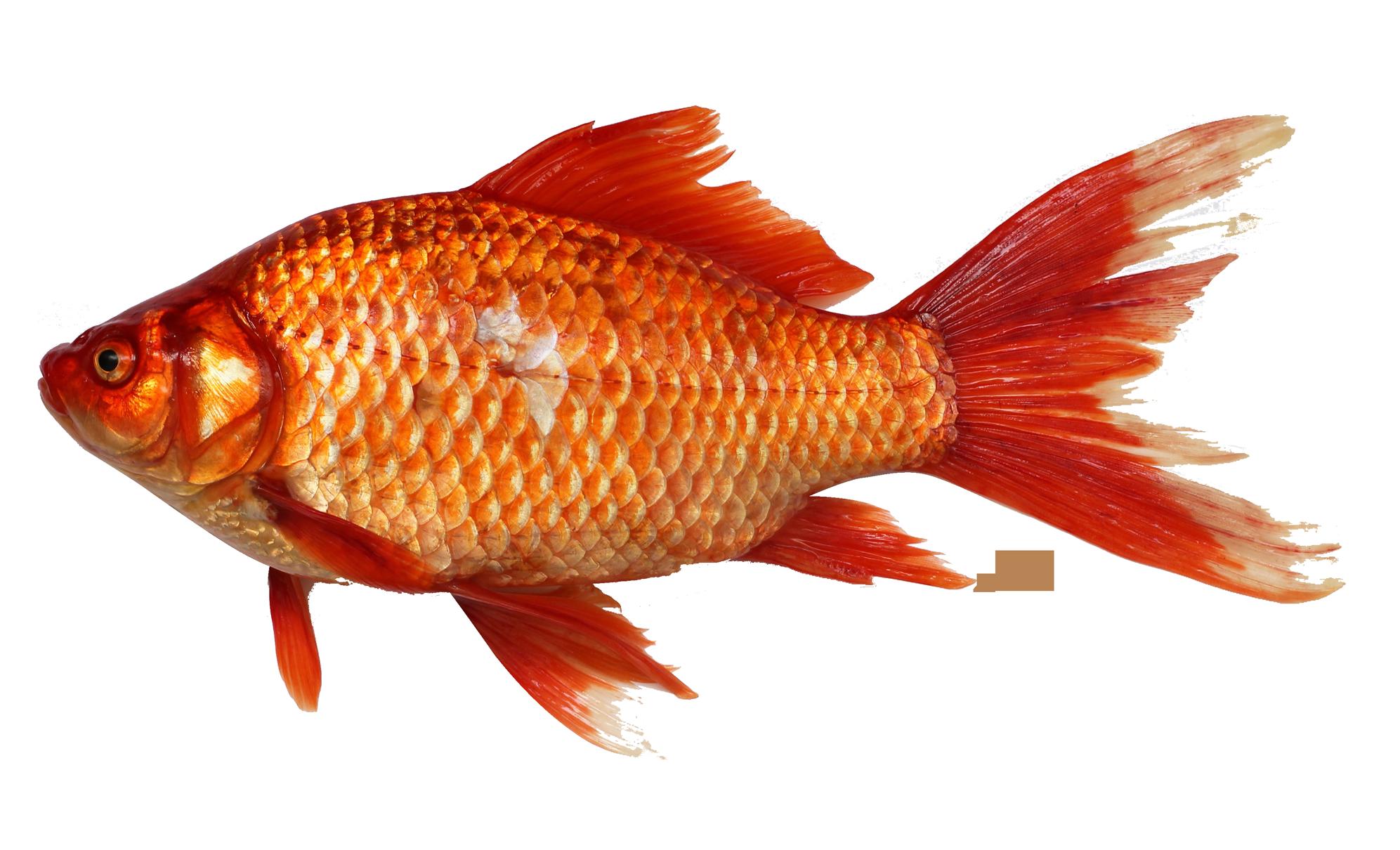 Goldfish Png Image Fish Clipart Koi Fish Drawing Goldfish