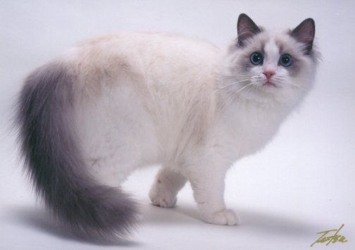 "Blue Point Bicolor Ragdoll Cat ""Briaton"" Floppicat Briaton ..."
