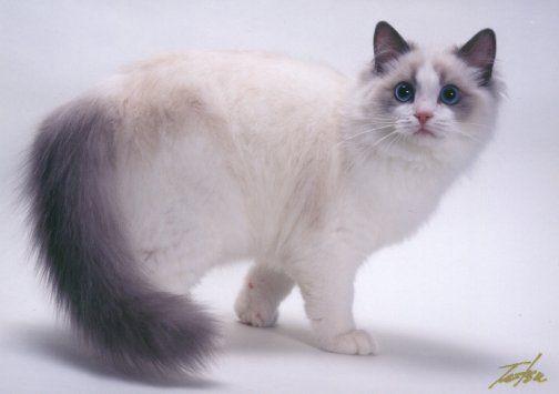 Blue Point Bicolor Ragdoll Cat Briaton Floppicat Briaton Of Bellapalazzo Ragdoll Cat Colors Ragdoll Cat Siamese Cats Blue Point