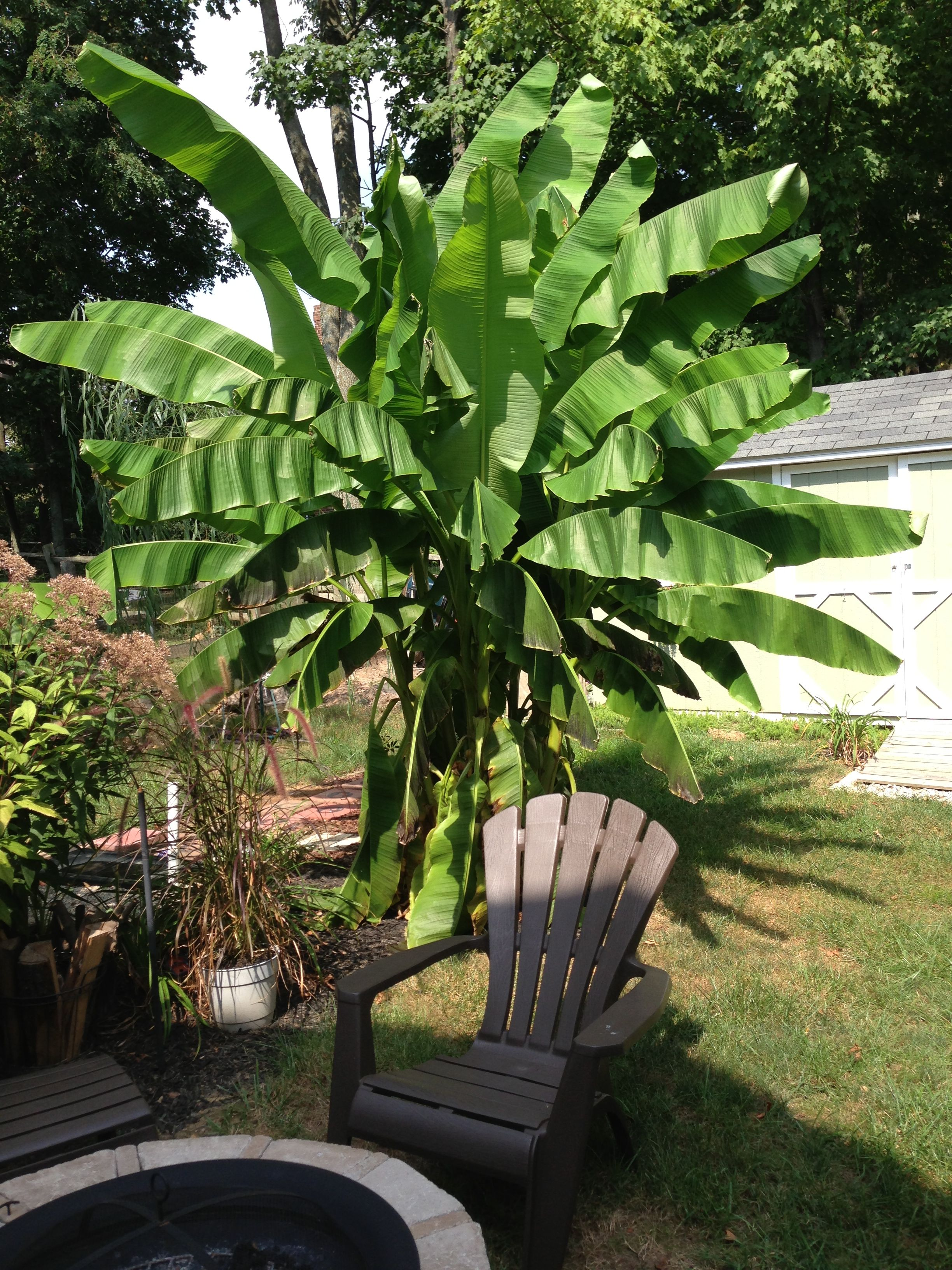 Monster Musa Basjoo Banana Plant In Zone 6