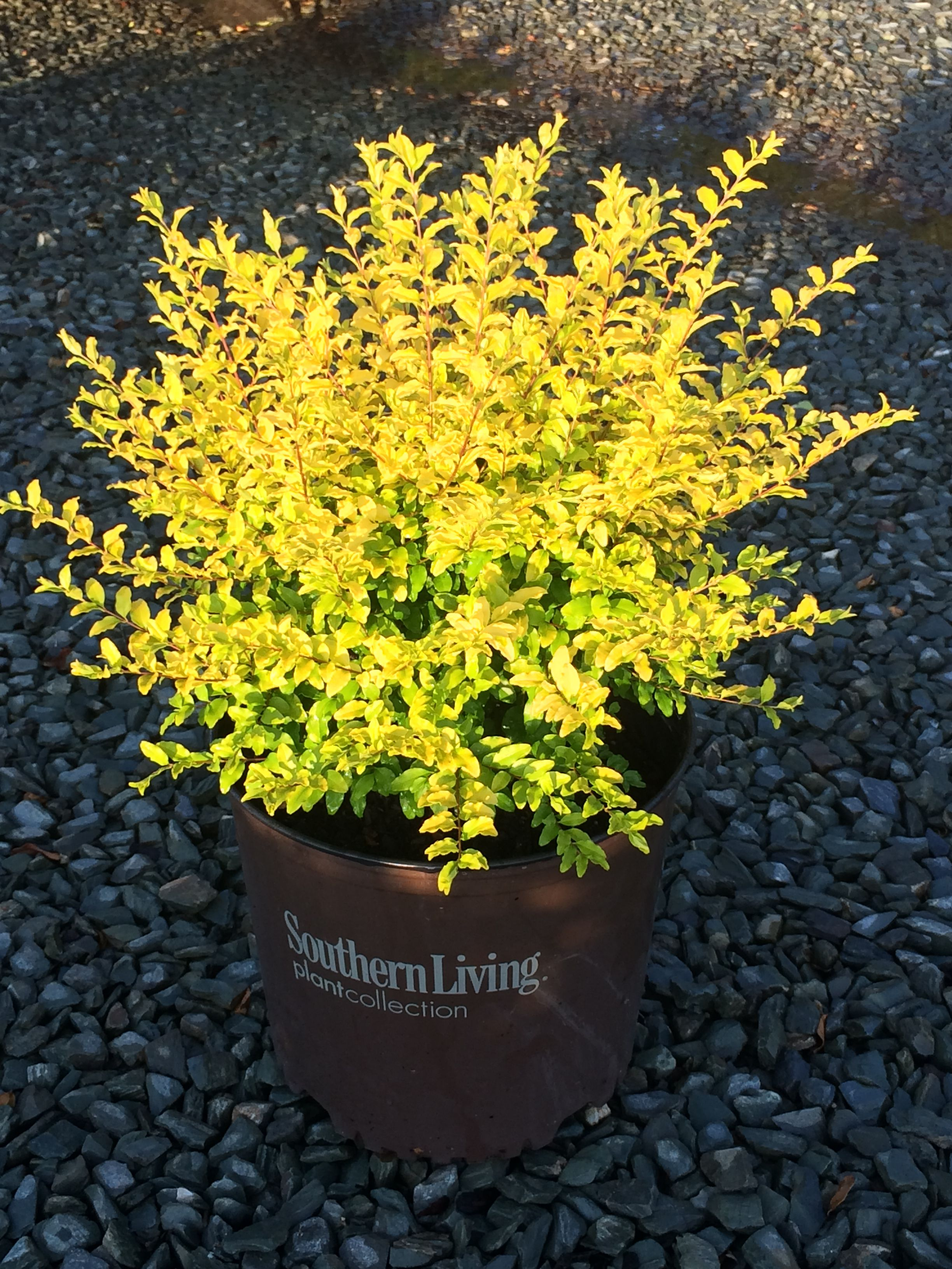 Ligustrum 'Sunshine' Wow! Glow in the dark.