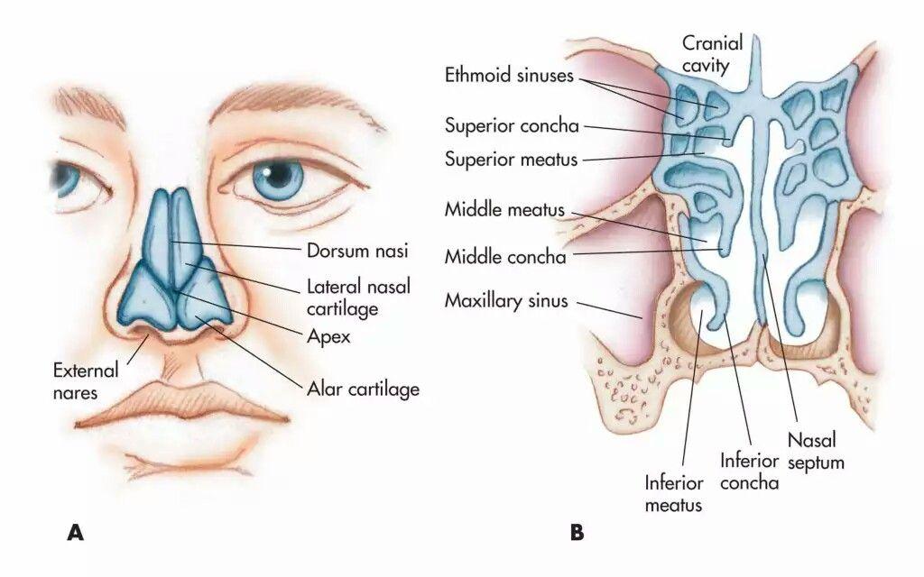Pin von Dr Bikramaditya auf Nasal anatomy   Pinterest