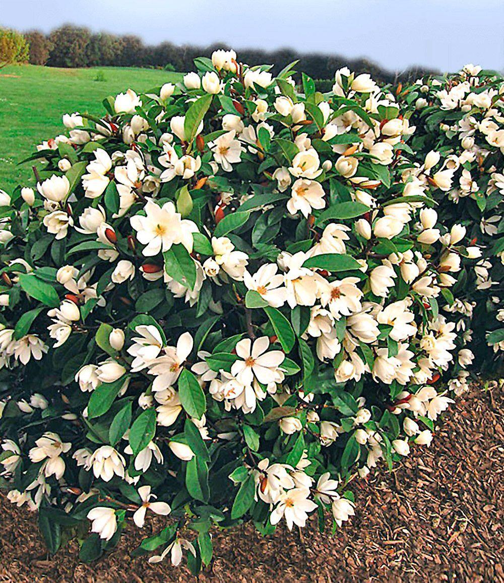 Duft Magnolien Hecke Fairy 1 Pflanze Hecke Pflanzen Pflanzen