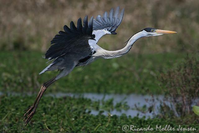 Cultura Guaraní: Aves acuáticas fotos