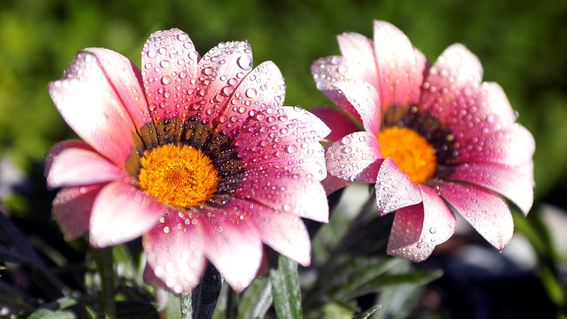 Beautiful amazing flower water drops hd wallpaper Beautiful flowers images