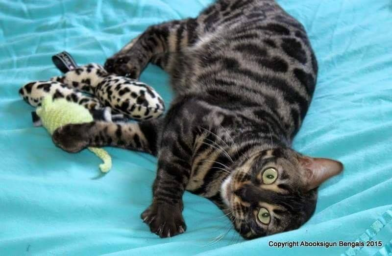 Previous Bengal Kittens Bred By Andina Bengals Poole Dorset