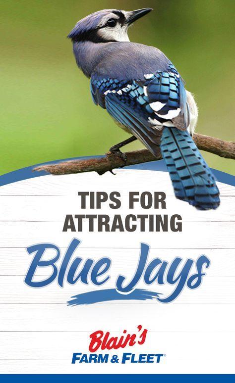 Tips for Attracting Blue Jays | Blue jay, Backyard birds ...