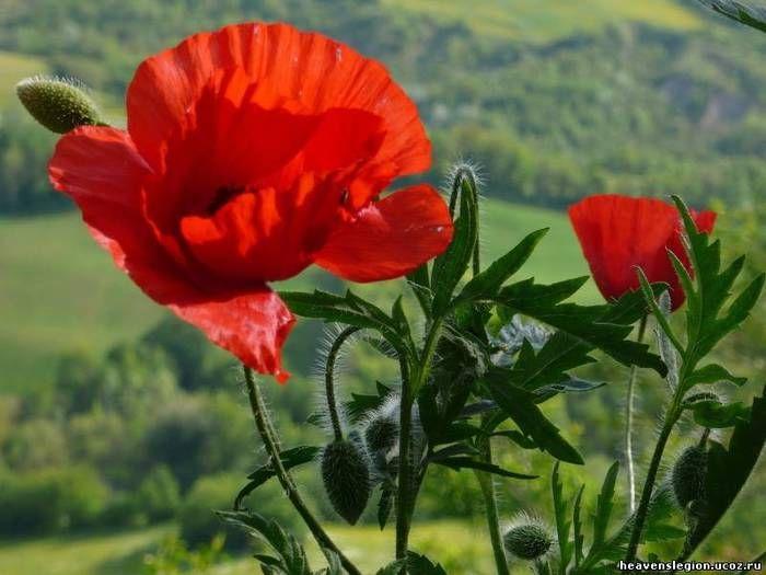 Foto Maki 13 Tys Izobrazhenij Najdeno V Yandeks Kartinkah Schone Blumen Mohnblume Mohn Rot
