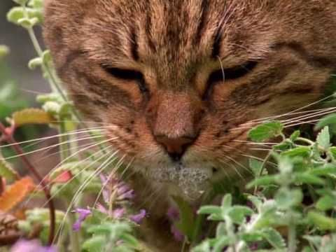 How catnip gets cats high YouTube Funny cute cats