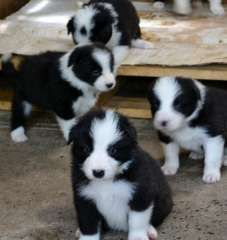 Border Collie Pups Puppies For Sale Noble Park North Victoria