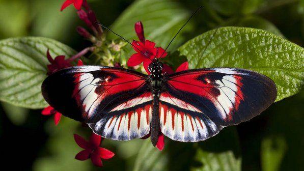 Borboleta Heliconius 20120517 02 Size 598 Jpg 597 336 画像あり