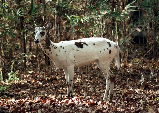 Piebald Colored Deer White With Brown Spots Animals Melanistic Melanistic Animals