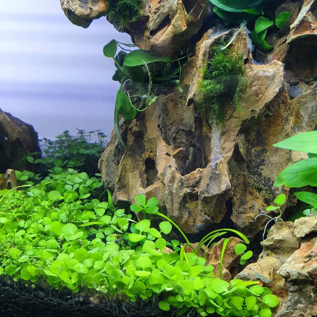 Carpet The Carpeting Plants Have Finally Filled In And Its Looking So Beau Outdoor Betta Natural Landmarks