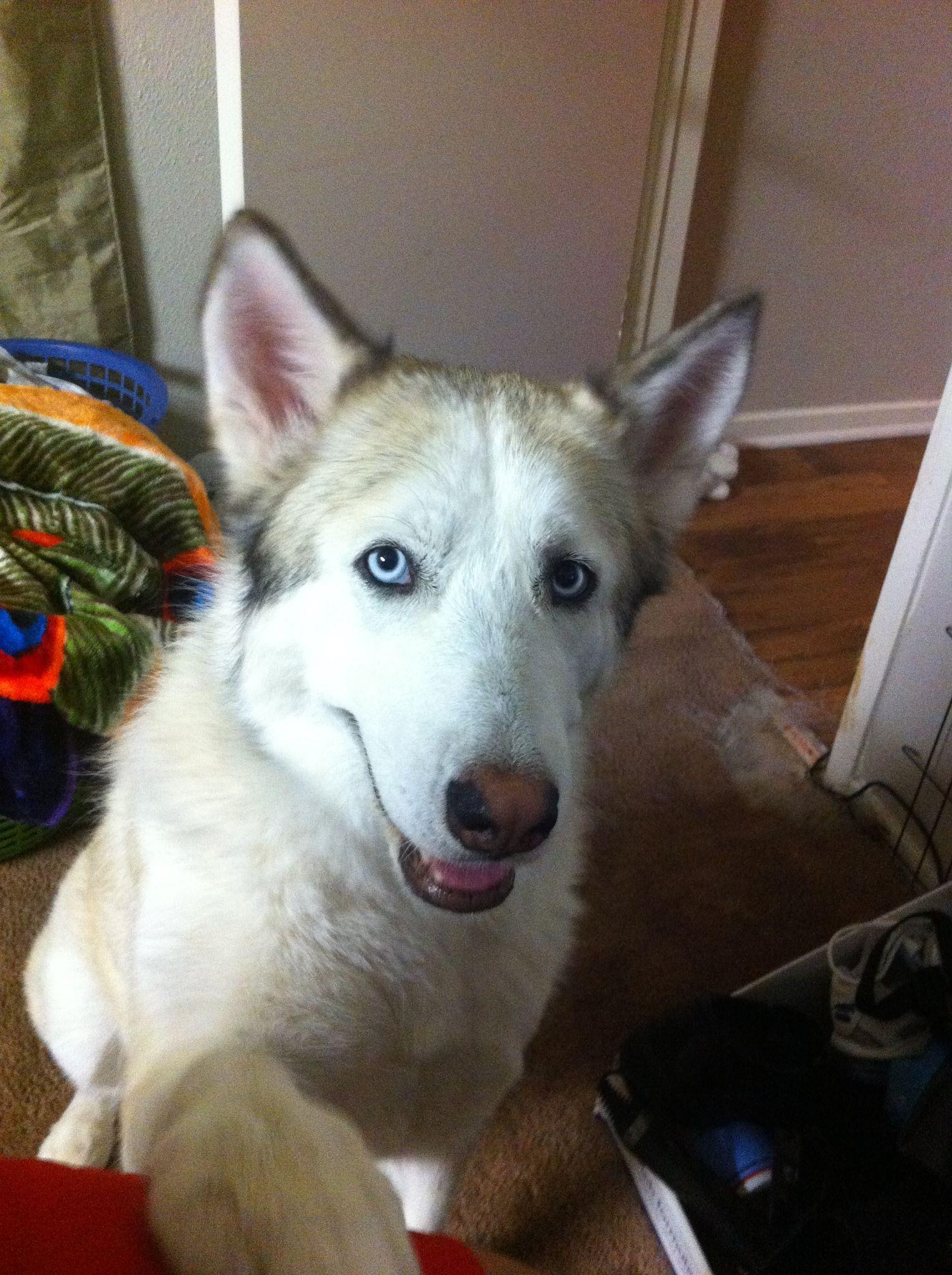 Litter Of 6 Siberian Husky Puppies For Sale In Orlando Fl Adn