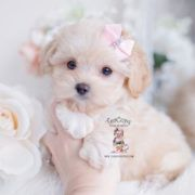 Maltipoo Breeder Florida #cuteteacuppuppies Morkie Puppies and Designer Breed Puppies For Sale by TeaCups Puppies | Teacups, Puppies & Boutique - Part 5 #cuteteacuppuppies