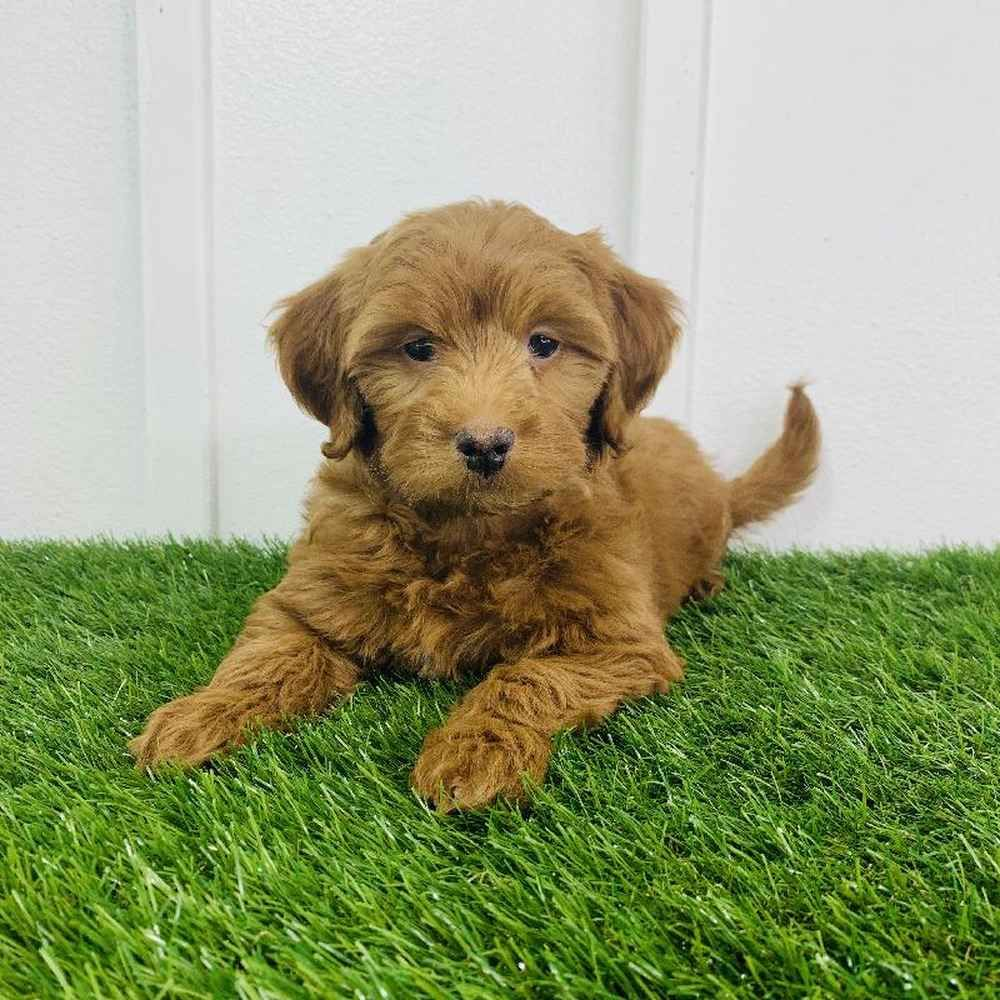 2nd Gen Mini Goldendoodle Puppies for Sale Meridian in