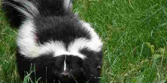 Removing Skunk Odor Inside Your Home Odor Removal With Images