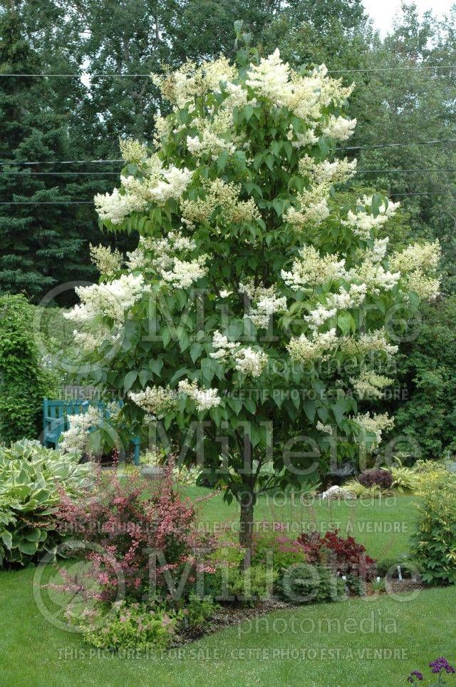 Ivory Silk Japanese Lilac I Had Room For Just One Tree