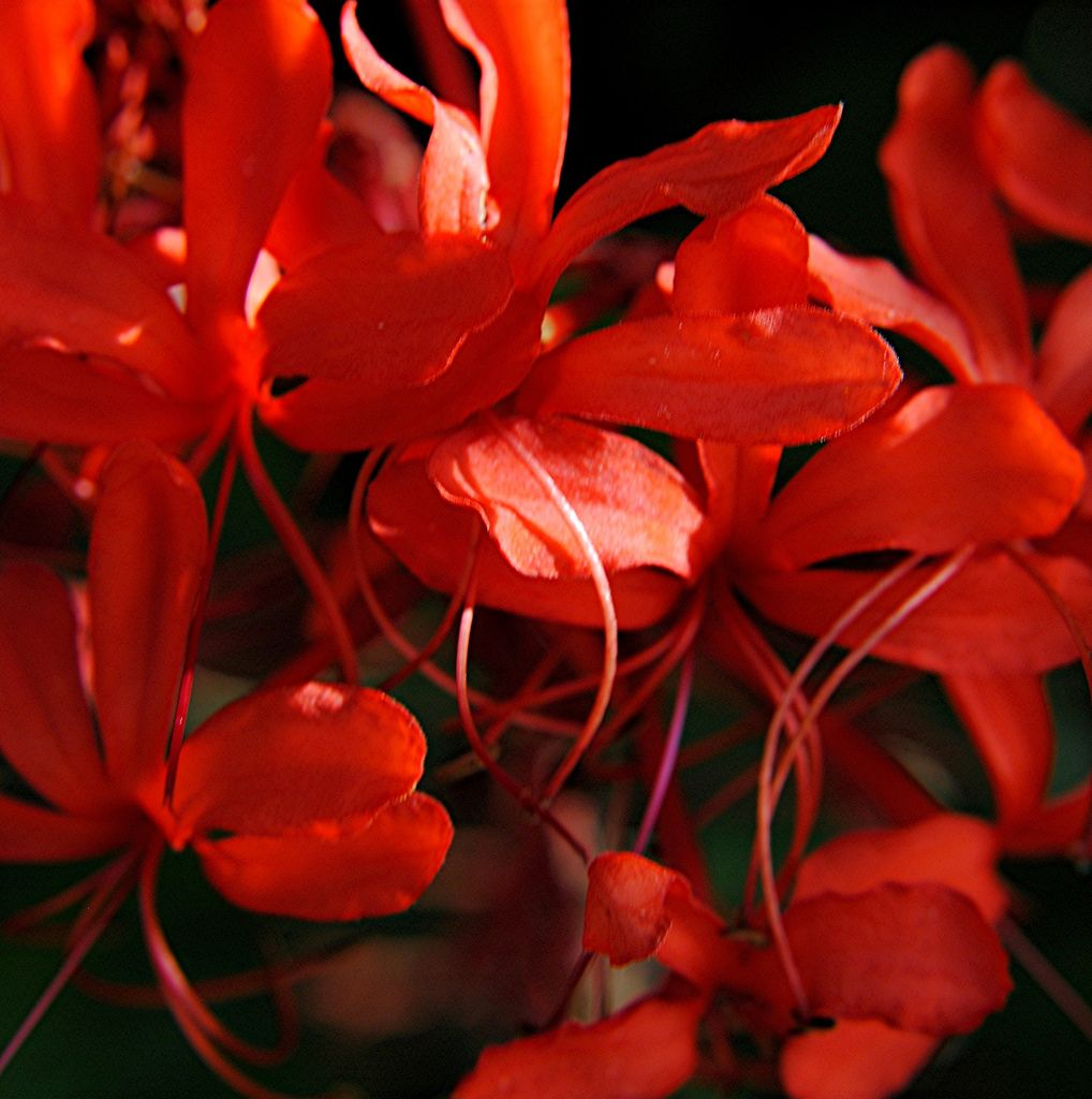 Red and rose filaments and blazing petals of Glorybower