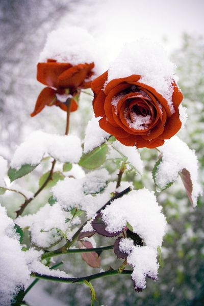 ruže u snijegu...