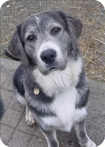 Duncan Bc Golden Retriever Husky Mix I Need Him With Images