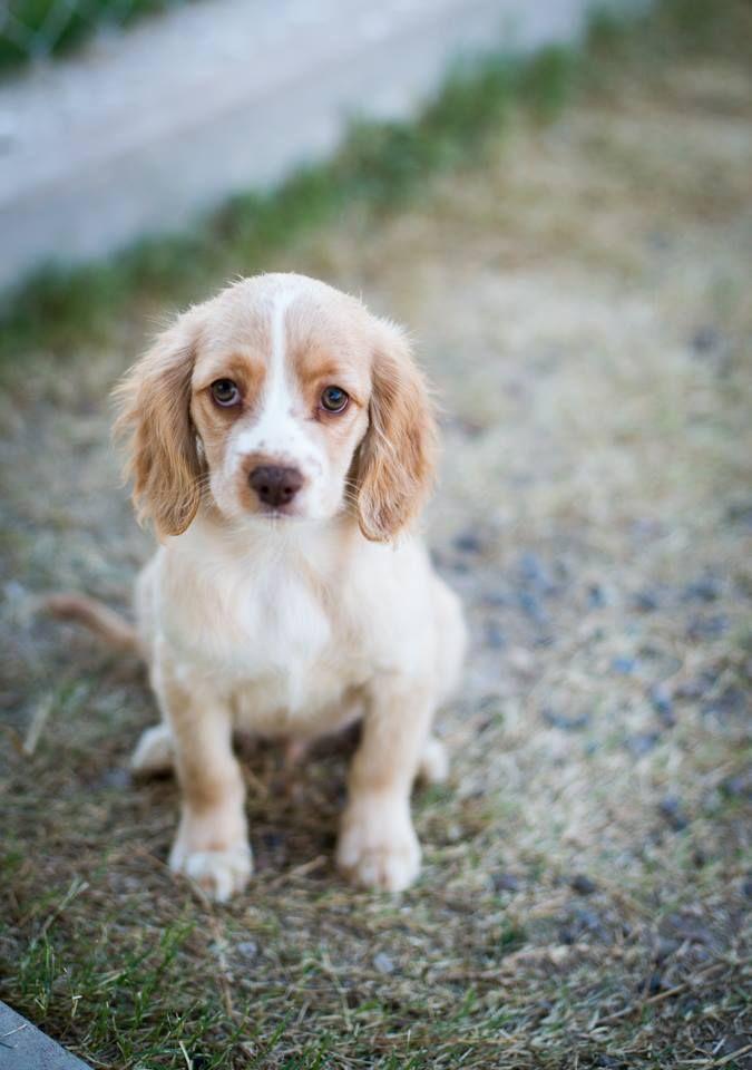 Adopt Brittany Springer Spaniel Puppies On Petfinder Springer