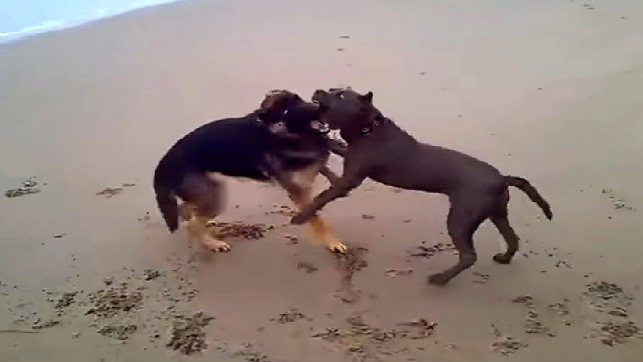 Pitbull Vs German Shepherd 2018 German Shepherd Vs Pitbull 2018 Pitb Pitbull Attacks Pitbulls German Shepherd