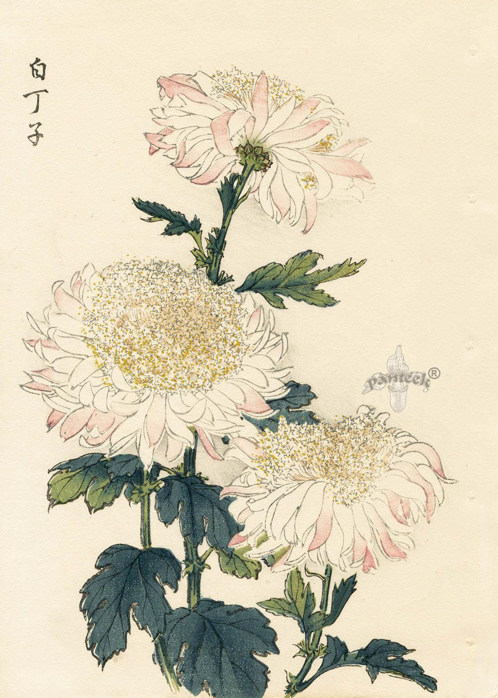 Keika Hasegawa Chrysanthemum Wood Block Prints 1st Edition 1893 꽃그림 수채화 꽃