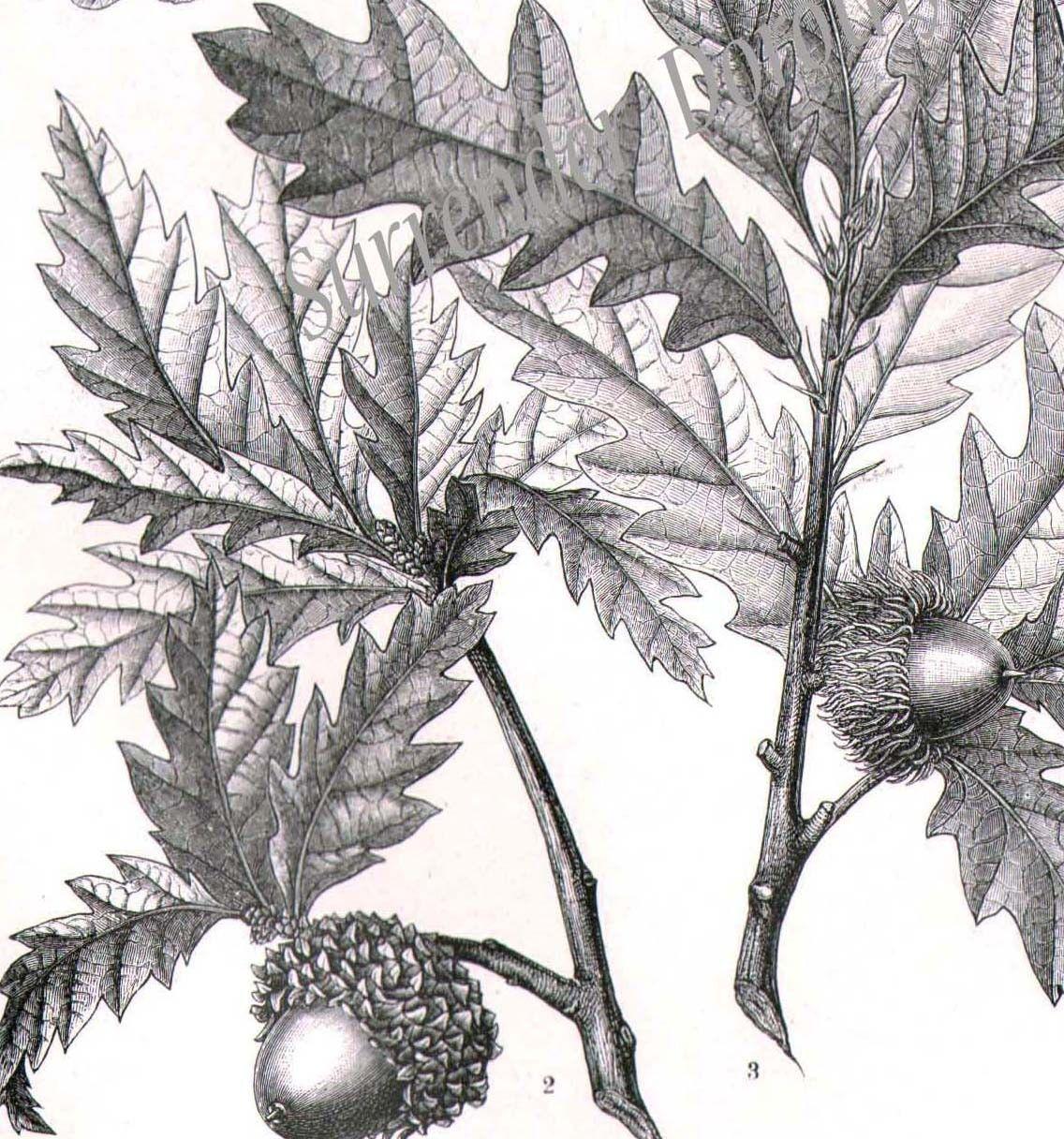 botanical illustration - Google Search