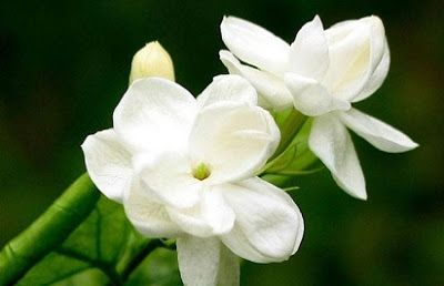 Mengenal Bunga Melati Dan Manfaatnya Tanaman Dalam Rumah Gambar Bunga Bunga