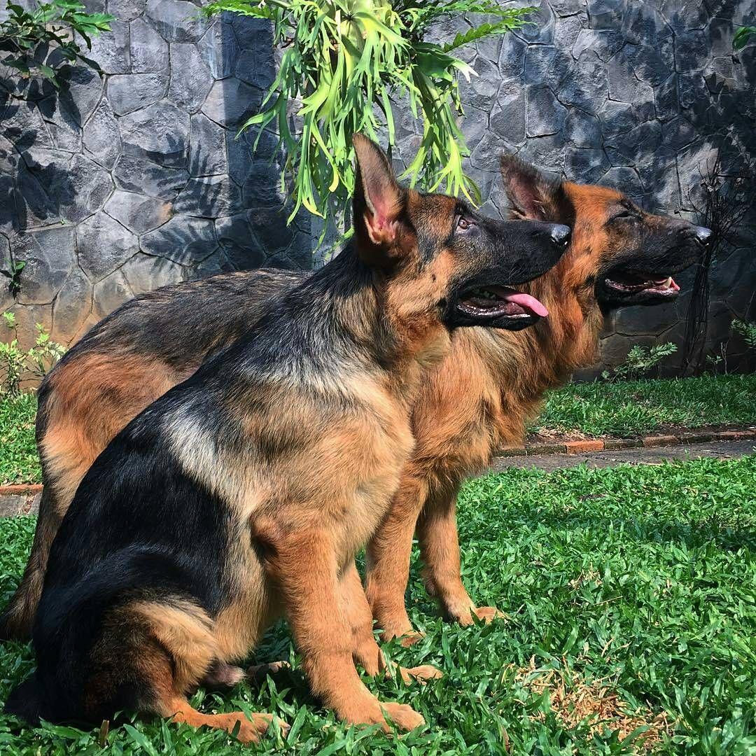 german shepherd puppies The Key To Dog Obedience