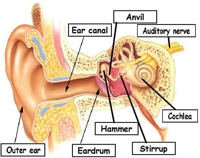 Parts Of The Ear Diagram Worksheet Perkins 12v Alternator Wiring Sense Hearing Activities | We Can Hear Noise And Sounds: Homeschool Pinterest Science ...