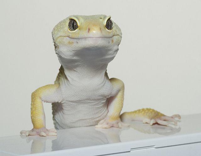 Leopard gecko | Reptiles | Pinterest | Iguanas, Reptiles y Animales