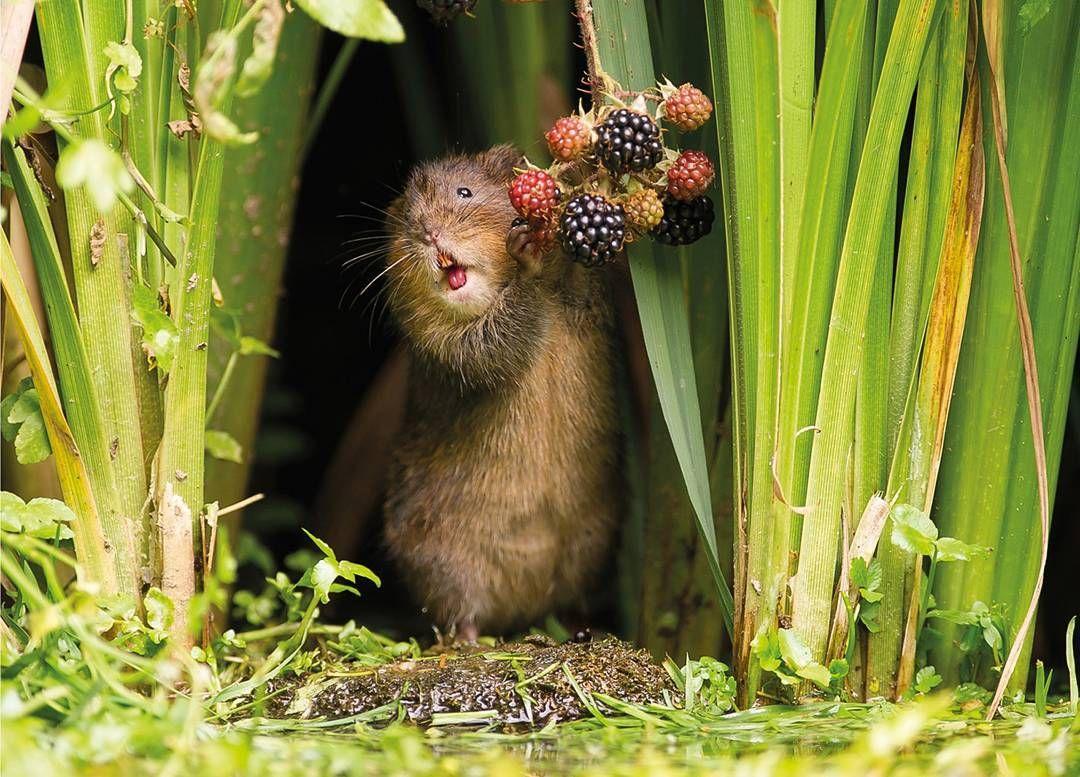 توج المصور دين ميسون بجائزة بي بي سي السنوية لأفضل صورة عن الحياة البرية وتوثق الصورة فأر الماء وهو يقضم حبة توت و Cute Animals Cute Animal Pictures Animals
